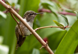 Colibri flammule - Selasphorus flammula - Volcano Hummingbird