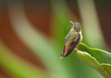 Colibri scintillant - Selasphorus scintilla - Scintillant Hummingbird