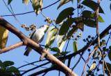 Cotinga à bec jaune - Carpodectes antoniae - Yellow-billed Cotinga