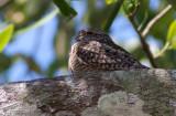Engoulevent minime -Chordeiles acutipennis - Lesser Nighthawk