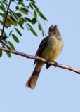 Élénie à ventre jaune - Elaenia flavogaster - Yellow-bellied Elaenia