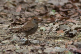 Grive à calotte rousse - Catharus frantzii - Ruddy-capped Nightingale-Thrush