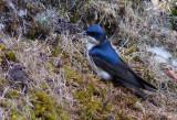 Hirondelle bleu et blanc - Notiochelidon cyanoleuca - Blue-and-white Swallow