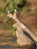 Hirondelle des mangroves - Tachycineta albilinea - Mangrove Swallow
