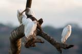 Héron garde-boeufs - Bubulcus ibis - Cattle Egret  et/and  Ibis blanc - Eudocimus albus - White Ibis
