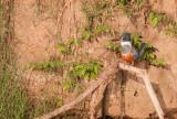 Martin-pêcheur à ventre roux - Megaceryle torquata - Ringed Kingfisher