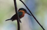 Martin-pêcheur nain - Chloroceryle aenea - American Pygmy Kingfisher