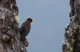 Merle fuligineux - Turdus nigrescens - Sooty Thrush