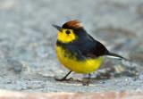 Paruline ceinturée - Myioborus torquatus - Collared Redstart