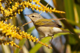 Paruline obscure - Vermivora peregrina - Tennessee Warbler