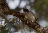 Paruline sombre - Basileuterus melanogenys - Black-cheeked Warbler