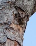 Petit-duc de Cooper - Otus cooperi - Pacific Screech-Owl
