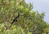 Pénélope unicolore - Chamaepetes unicolor - Black Guan