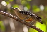 Pic de Hoffmann - Melanerpes hoffmannii - Hoffmann Woodpecker