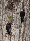 Pic glandivore - Melanerpes formicivorus - Acorn Woodpecker