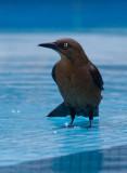 Quiscale à longue queue - Quiscalus mexicanus - Great-tailed Grackle
