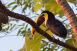 Toucan de Swainson - Ramphastos swainsonii - Chestnut-mandibled Toucan