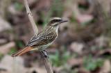 Tyran audacieux - Myiodynastes maculatus - Streaked Flycatcher