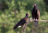Urubu à tête rouge - Cathartes aura - Turkey Vulture