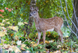 Cerf de Virginie / Odocoileus virginianus / White-tailed deer