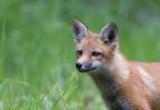 Renard roux / Vulpes vulpes / Red Fox