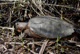 Tortue serpentine / Chelydra serpentina serpentina / Common Snapping Turtle