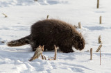 Porc-épic d'Amérique / Erethizon dorsatum / American porcupine