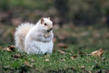 Écureuil gris de l'Est / Sciurus carolinensis) / Eastern Grey Squirrel