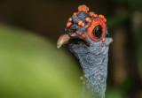 Observation d'oiseaux au Bélize - Birding in Belize