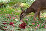 Cerfs de Virginie et autres mammifères