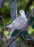 Tourterelle rieuse - Ringed Turtle-dove