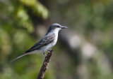 Tyran gris - Grey Kingbird