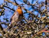 English Robin in Spring