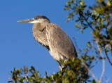 Great Blue Heron at the 10,000 Islands NWR