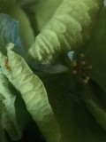 hydrangea-IMG_2990.jpg