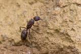 Camponotus? sp Queen