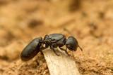 Cephalotes (Turtle ants)