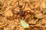 Atta (Leaf-cutting ants)