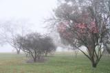 Early Blossum in Lakeside Fog