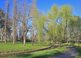 Willows are the First to Show New Foliage