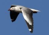 grey_headed_gull