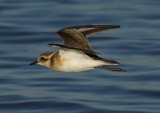 white_fronted_plover