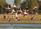 lesser_flamingo