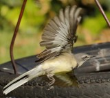 cape_wagtail