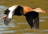 whistling_duck
