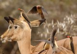 red_billed_oxpecker