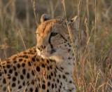 Cheetah Kruger first light