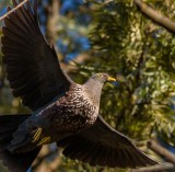 african_olive_pigeon
