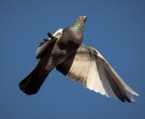 rock_dove