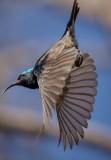 white belly sunbird